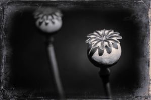 poppy seed pods by vw1956
