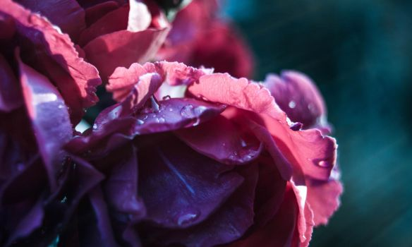 roses by veronnisia
